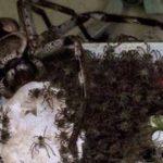 Araignée mangeuse d'oiseaux